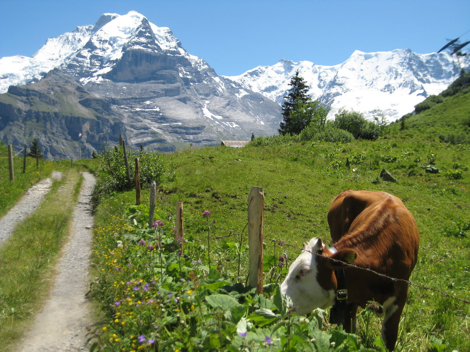 Swiss Cows, in Swiss Alps, 2011