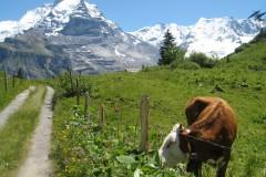 Swiss Cows, in Swiss Alps, 2011